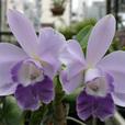 C. Mini Purple f. coerulea 'Blue Pacific'