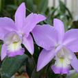 C. Mini Purple f. concolor