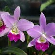 C. Mini Purple 'Spring Time'SM/JGP