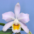 C.luteola × C.shroederae#2