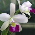 Ency. mariae × L. sincorana