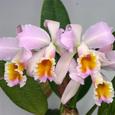 C. luteora × schroederae'Romeo'