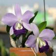 C. Mini Purple f. coerulea 'Blue Smile'