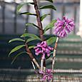 Den. roseipes  (concavissimum)