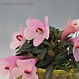 Den. cuthbertsonii  pink&yellow