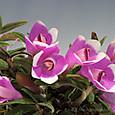 Den. cuthbertsonii pink&white