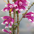 Den. lawesii  f.  bicolor J&R