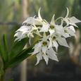 Den. johnsoniae