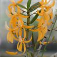 Den.  unicum f. aureum