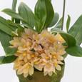 Den. laevifolium f. aureum