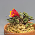 Den. cuthbertsonii  red&yellow