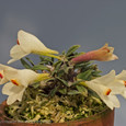 Den. cuthbertsonii  yellow