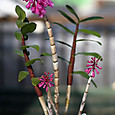 Den. roseipes