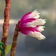 Den. lawesii  f.  bicolor pink&white