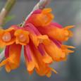 Den. lawesii  f.  bicolor  red&orange