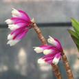 Den. lawesii f. bicolor