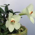 Den. cuthbertsonii  Primrose Yellow