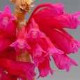 Den. lawesii f. bicolor  red&purple