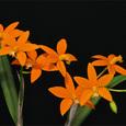 L. harpophylla
