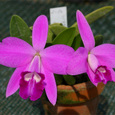 L. sincorana