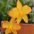 Soph. coccinea  (aurea×barboleta)×(aurea×barboleta)#2