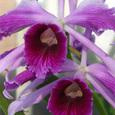 L. purpurta  flamea