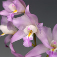 L.  × eyermaniana