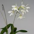 L. rubescens f. alba