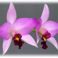 L. anceps var. guerrero 'Blumen Insel'BM/JOGA
