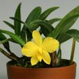 Soph.  coccinea f.  aurea