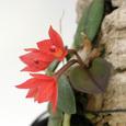 Soph.  alagoensis