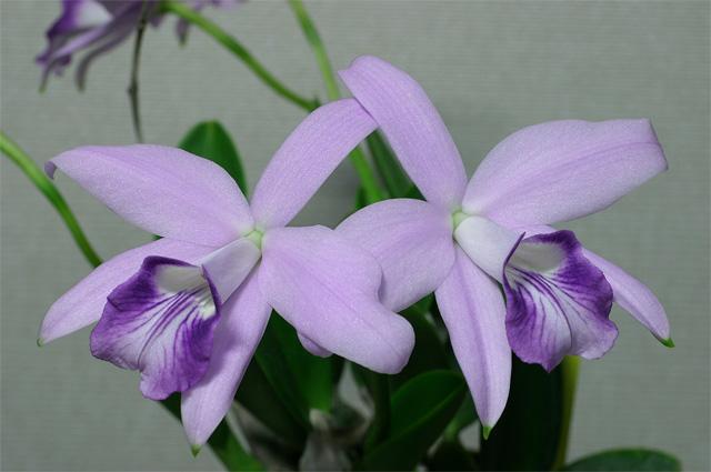 L. sincorana  coerulea #4