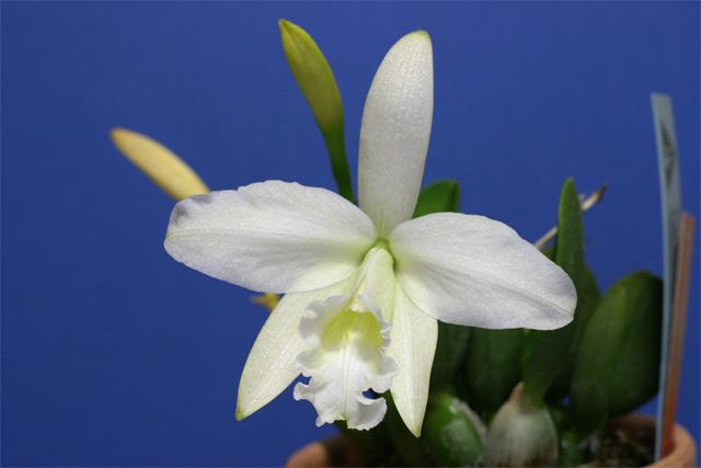 S. sincorana f. alba
