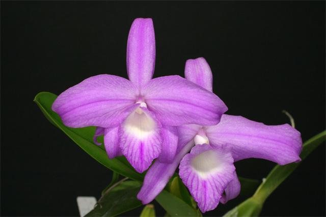 S. fidelensis