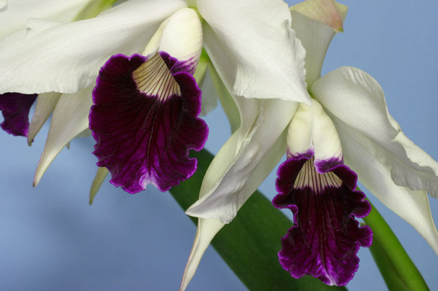 L. purpurta. var. s/a