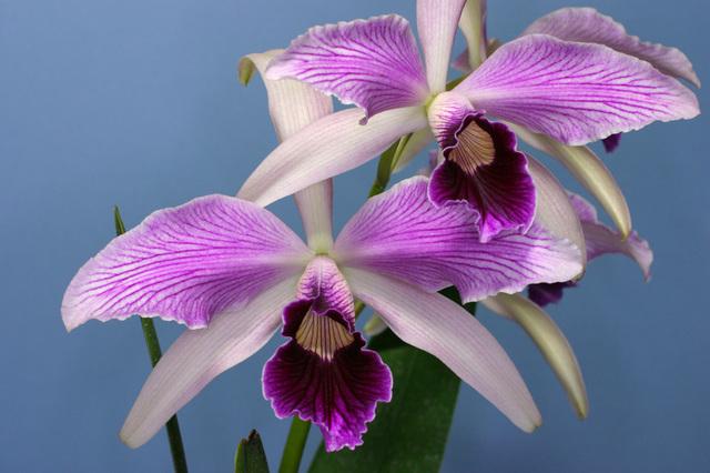 L. purpurta var. estriata'Draci'