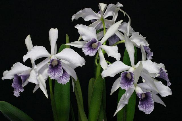 L. purpurta var. warkhauseri'Blus Sky'