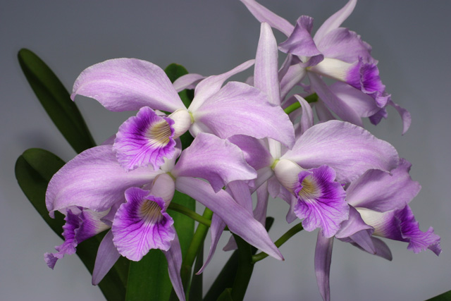 L. purpurta  var.  russeliana  'De Padre Vitus'