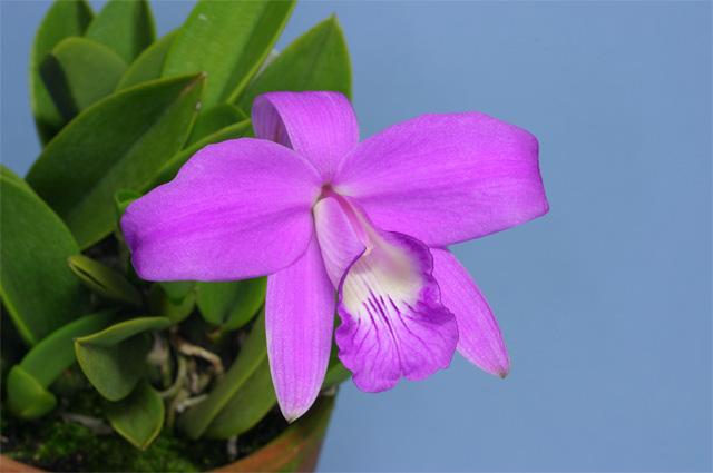 L. sincorana  concolor