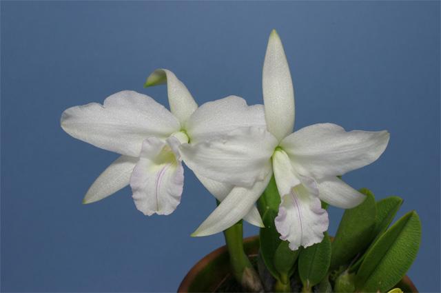 L. sincorana albescens'Jose Rodrigues'