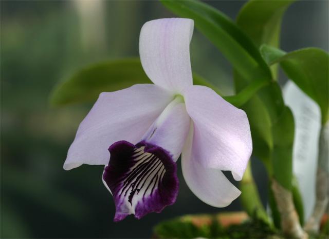 L. dayana  coerulea