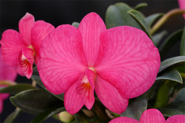 Soph. rosea 'Opa'×self (wittigiana)