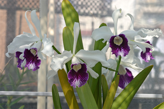L. purpurta'Schusteriana'