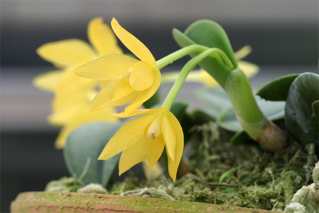 Soph. sernua f. aurea