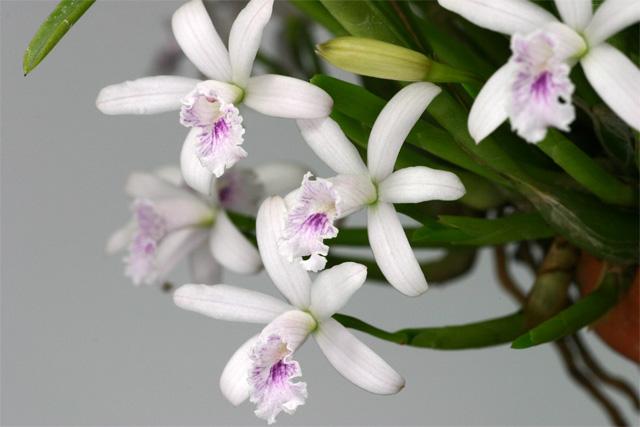 Soph. lundii  coerulea