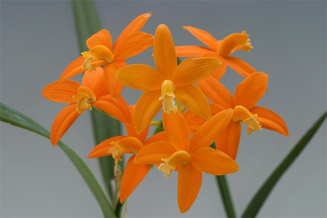 Soph. harpophylla ('Gold Coin'בSander1')
