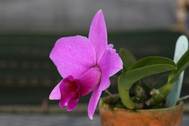 C. praestans ' B.insel × Nissato'