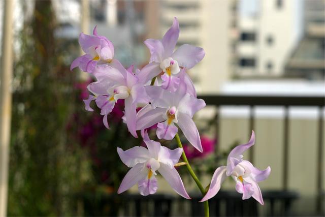 L.  × eyermaniana  ( L. albida × L. spciosa )