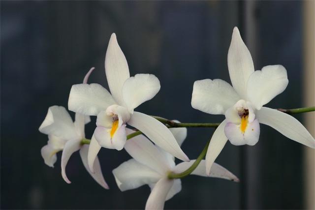 L. albida