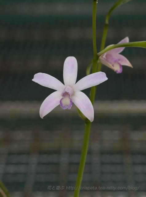 C. pabstii f. perola
